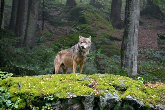 wolf-948285_1920